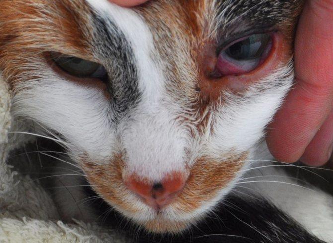 Хроническая форма хламидиоза – нередкая причина бесплодия у животного