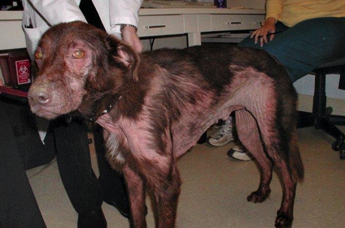Хронический дерматит доставляет большой дискомфорт собаке