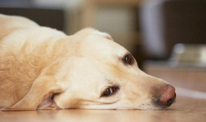 хронический пиелонефрит у собак