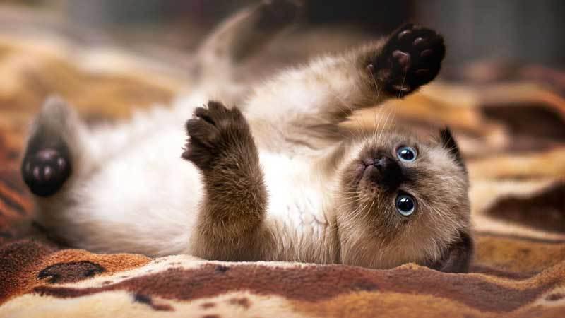 играющийся-котенок-сиамской-кошки
