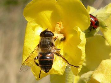 Ильница-пчеловидка