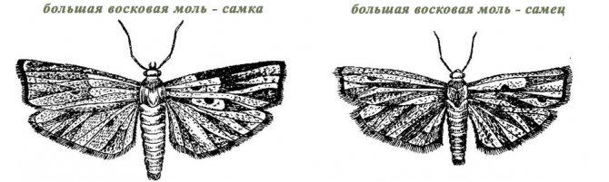image: Большая восковая моль самец и самка