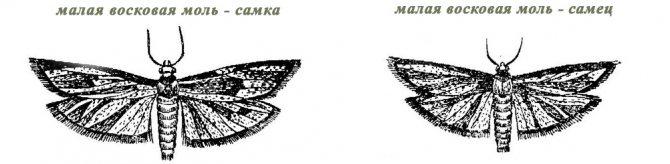 image: Малая восковая моль самец и самка
