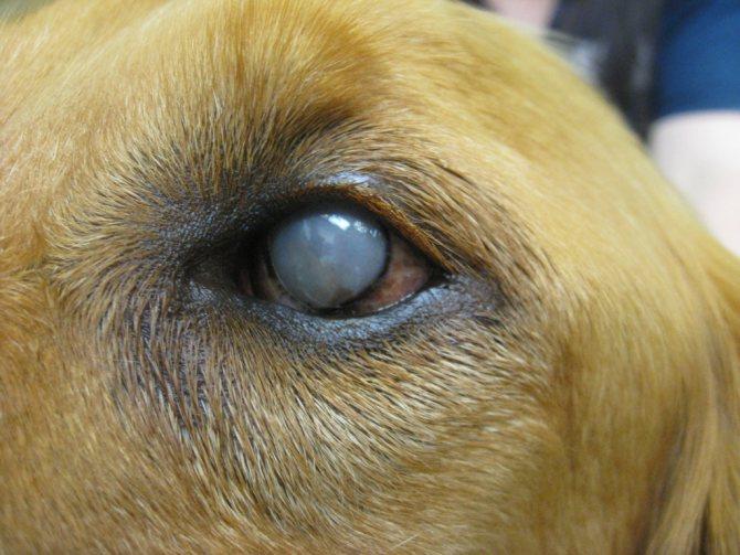 Собака Похудел Глаза Гноятся. Гноятся глаза у собаки: причины, чем лечить