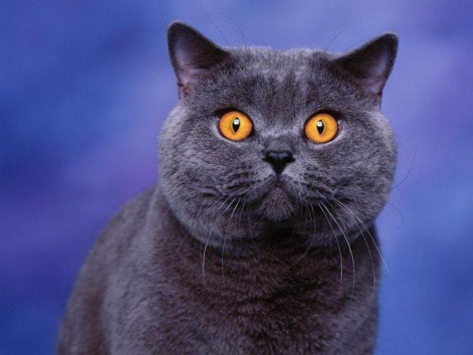 Имя для кошки девочки британской породы