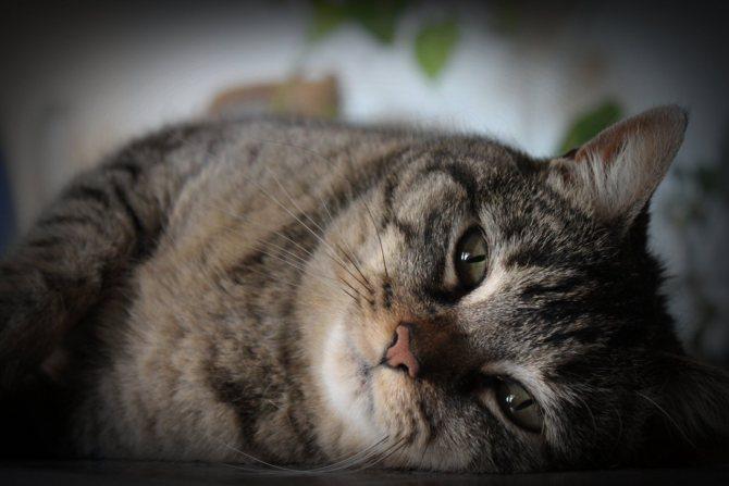 Инфаркт у котенка симптомы