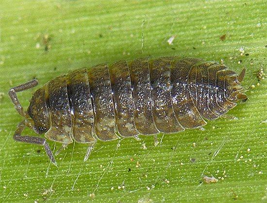 Иногда мокрицы могут повреждать еще живые растения, нанося им тем самым вред.