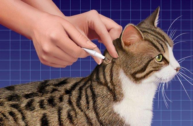 Инспектор наносится на холку кошки
