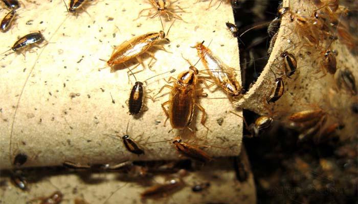 Инструкция по применению средства Фенаксин от клопов, тараканов, двухвосток, медведки и муравьев