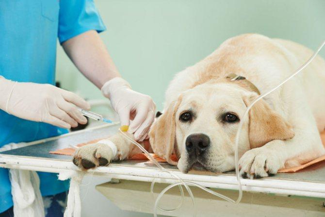 Инсульт у собаки: симптомы, первые признаки и лечение в домашних условиях
