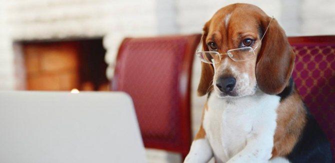 интеллект собак