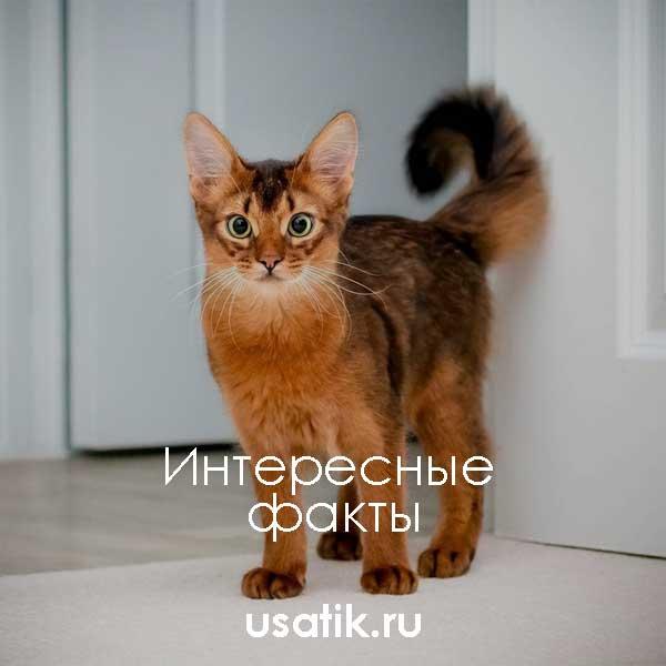 Интересные факты о сомалийских кошках