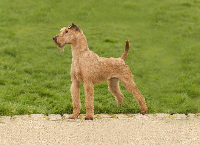 Ирландский терьер – фото собаки, описание характера