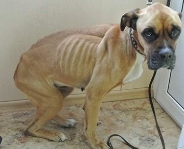 Резкое похудение причины у собаки после родов