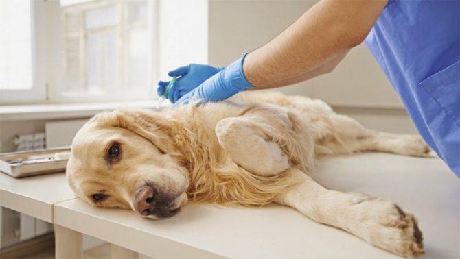 Из-за лямблиоза организм собаки истончается и собака может погибнуть из-за заражения другими опасными болезнями