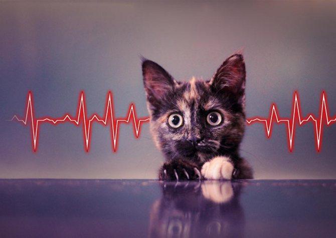 Измерение пульса у кошек