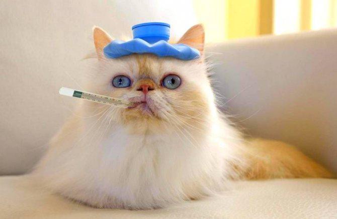 Измерение температуры кошки ртутным градусником
