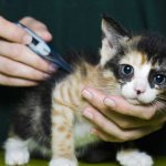 Измерение температуры у котёнка