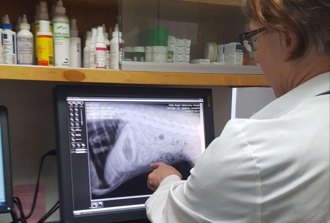 изучение снимка рентгена собаки