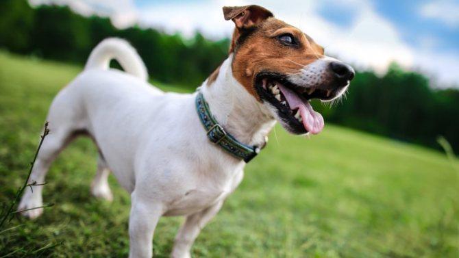 jack russell terrier 1 - Парсон рассел терьер и джек рассел терьер: сравнение