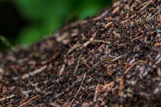 к чему снится муравейник