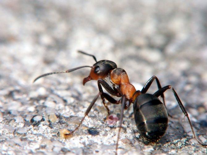К чему снятся красные, черные, рыжие, муравьи?