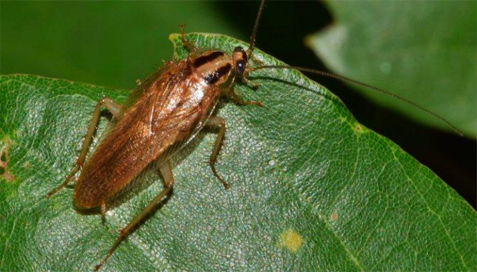 К чему снятся тараканы? Толкование снов с тараканом по сонникам