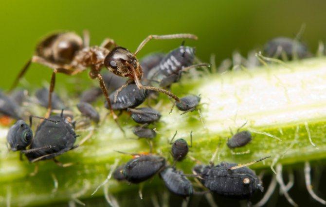 К чему снятся во сне муравьи большие, маленькие, летающие