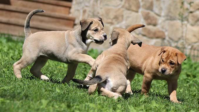 кадебо фото щенков