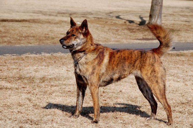 Кай-кен также может называться тигровой собакой,