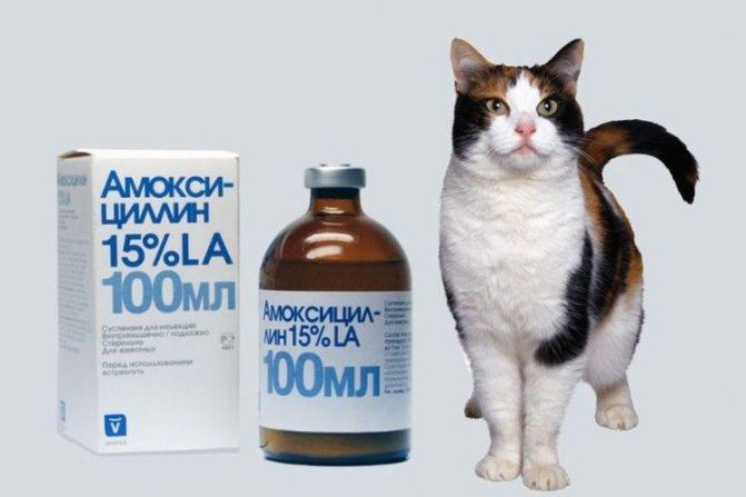 Как давать Амоксиклав для кошек