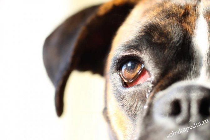 Как диагностировать и чем лечить конъюнктивит у собак