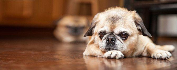 Как диагностировать у собаки глистов