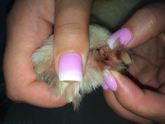 Как долго лечится пиодермия у собак
