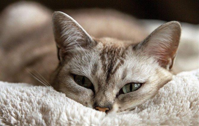 Как долго отходит кот и кошка от наркоза после кастрации стерилизации