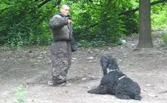 как дрессировать русского терьера