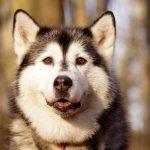 Как дрессировать собаку хаски