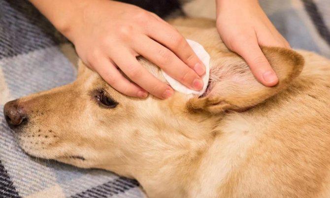 как и чем чистить уши собаке