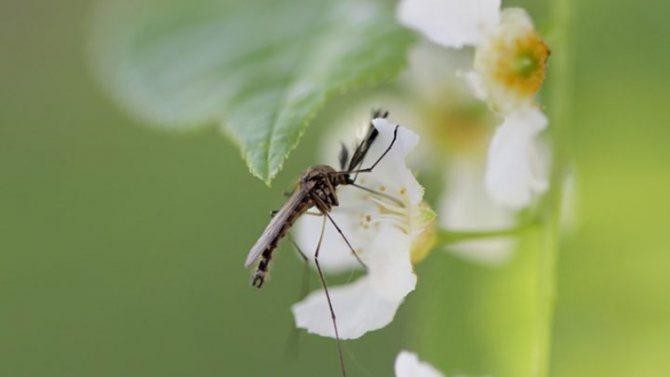 Как и чем питаются комары в природе.jpg