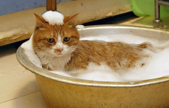 как искупать кота правильное купание
