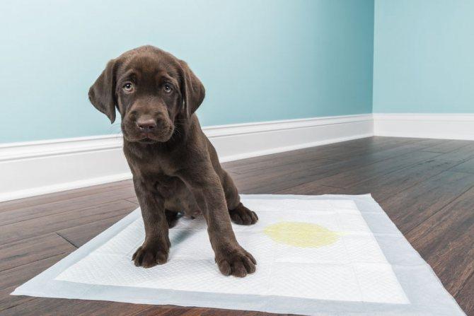 Как использовать пеленку для приучения щенка