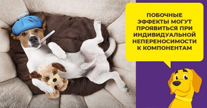 Как используют вакцину Вакдерм для защиты собак от грибковых заболеваний