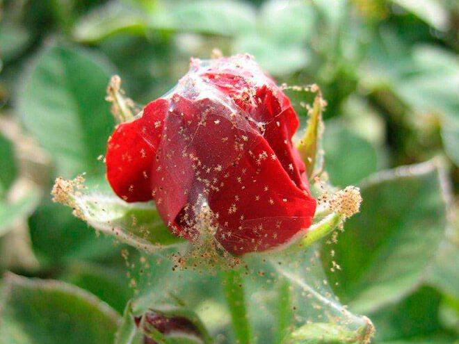 Как избавиться от клещей на розах комнатных