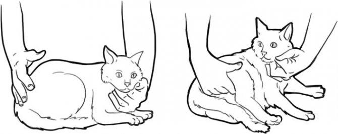 Как измерить пульс коту