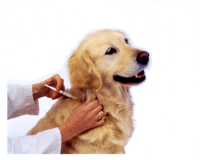 как колоть гамавит собаке