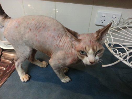 Как кошка или кот может заразиться стригущим лишаем?