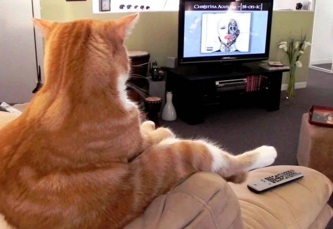 Как кошка видит людей, себя в зеркале и телевизионную картинку
