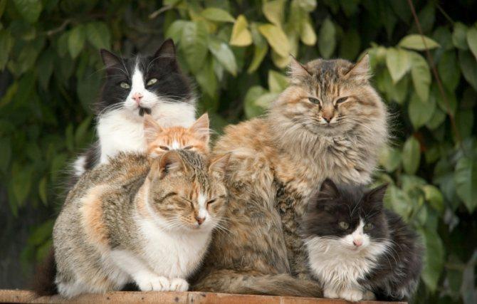 как кошки заражаются коронавирусом