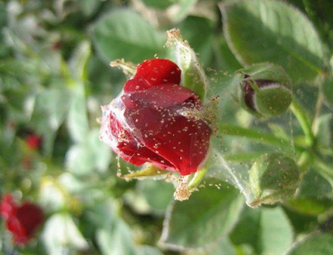 Как лечить домашнюю розу от паутинного клеща