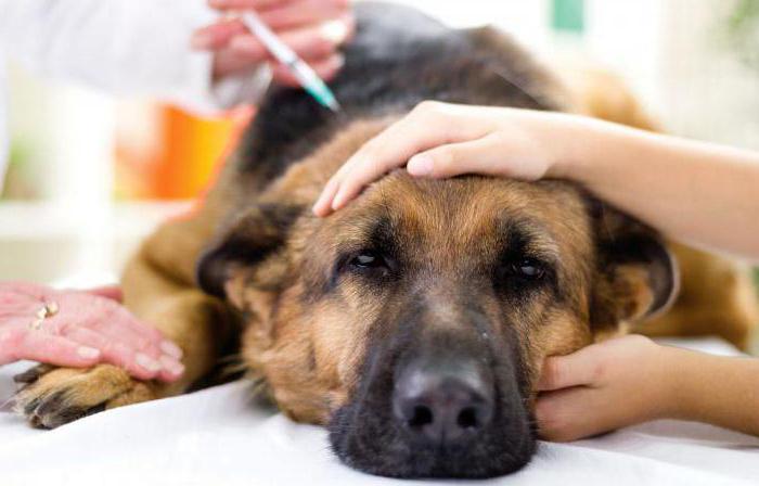 как лечить простатит у собак